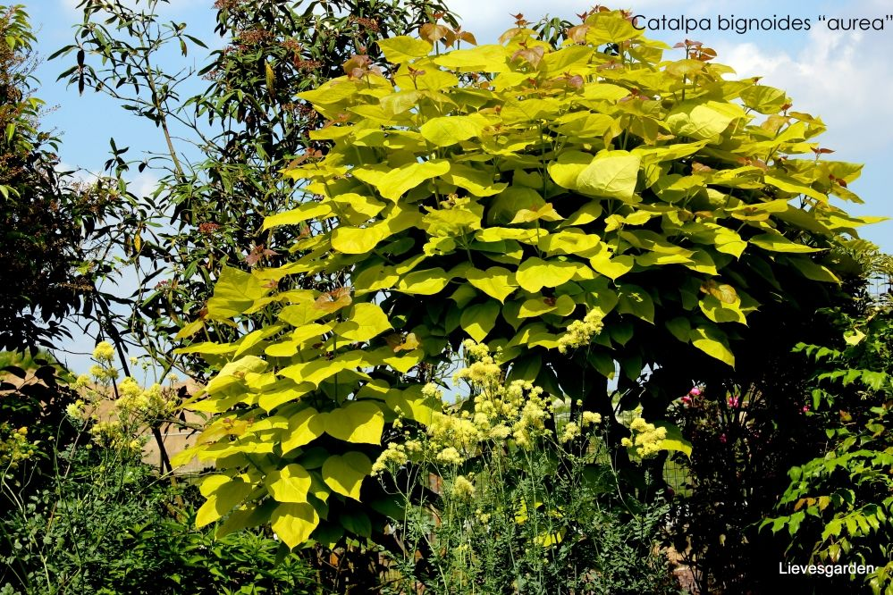 Catalpa bungei Plant Ideas t Plants and Gardens