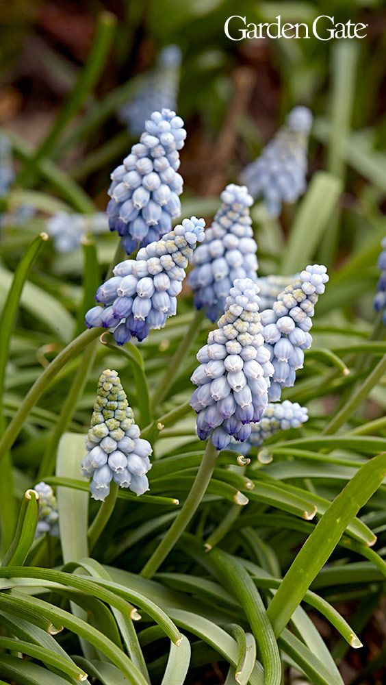 How to Grow Grape Hyacinth Grape hyacinth flowers