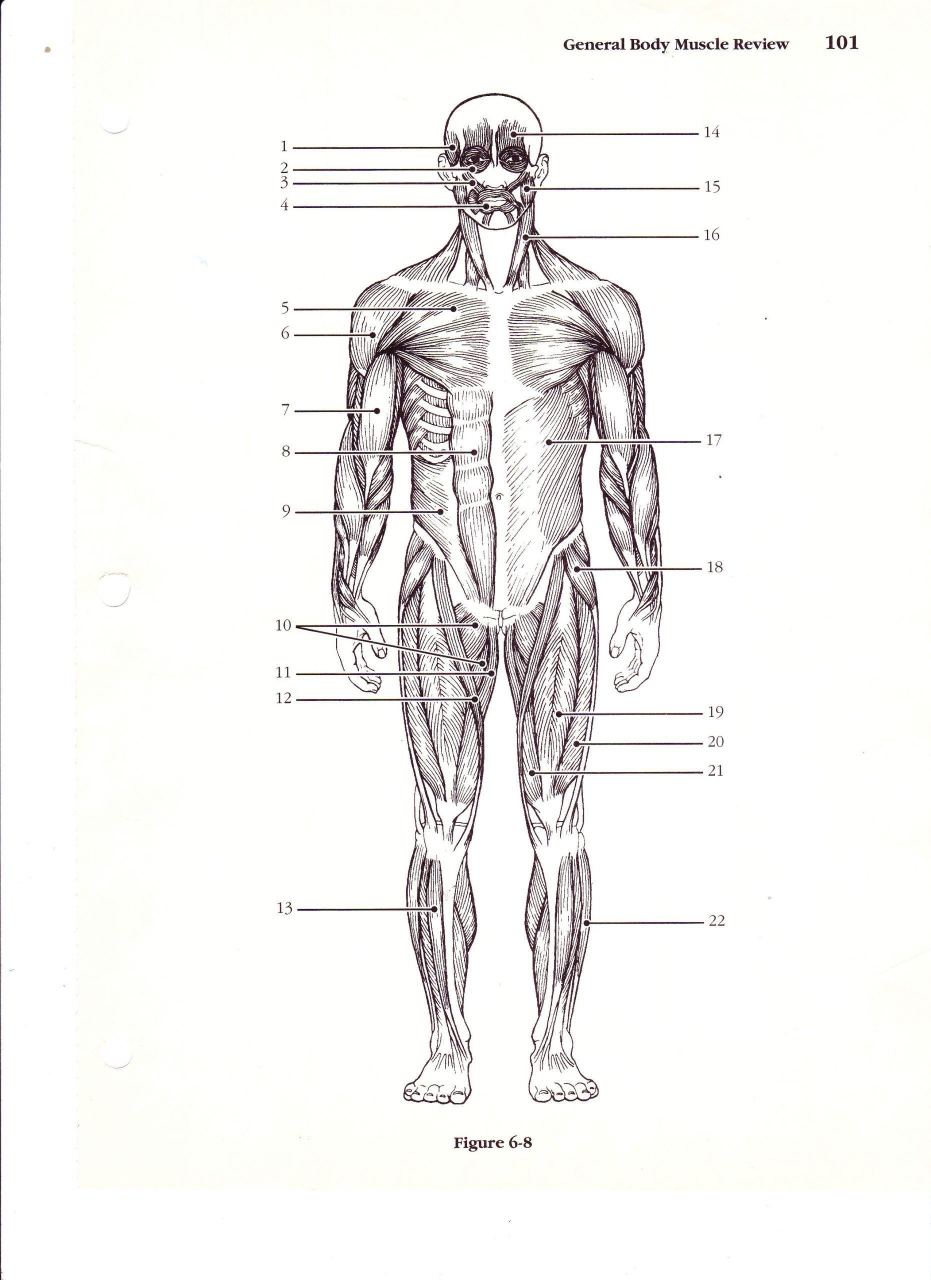 Printable Anatomy Labeling Worksheets Unlabeled Muscles