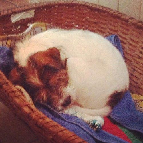 heididahlsveen:  #atsjoo sover. #valp #hund
