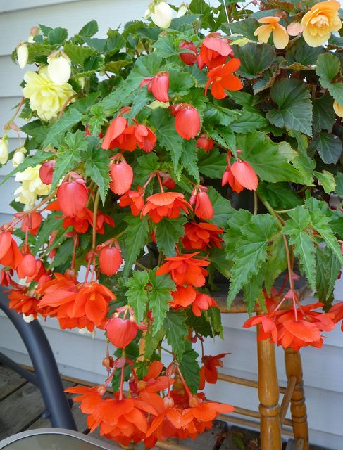 Trailing Begonia Begonia Flower Garden Beautiful Flowers