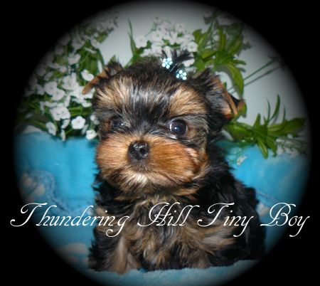 Yorkie Puppies For Sale B C Canada Teacup Yorkies For Sale Yorkie Puppy Yorkie Puppy For Sale Teacup Yorkie For Sale