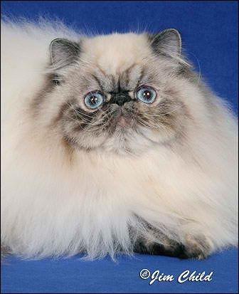 Persian Kitten 3 Months Olddoll Faceodd Eyestripple Coatpure Whiteactive And Healthy And Playfulonly Serious Buyers Conta Persian Kittens Kitten Beautiful Cats