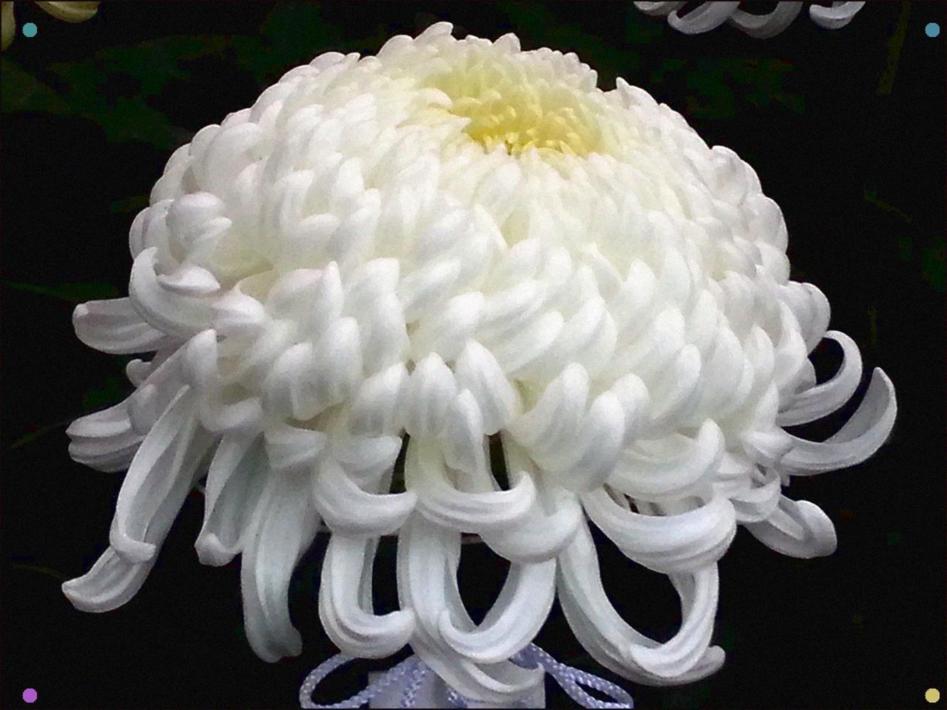 Chrysanthemum 2014 shinjuku gyoen chrysanthemum flowers