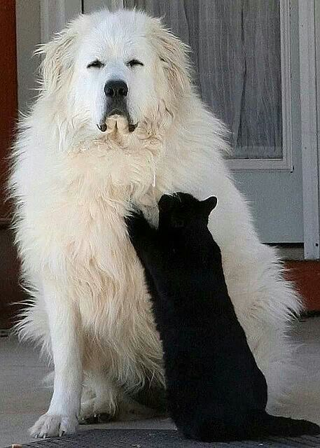 """""""This is the best scratching post I've ever used!""""-- Great Pyrenees are wonderful dogs."""