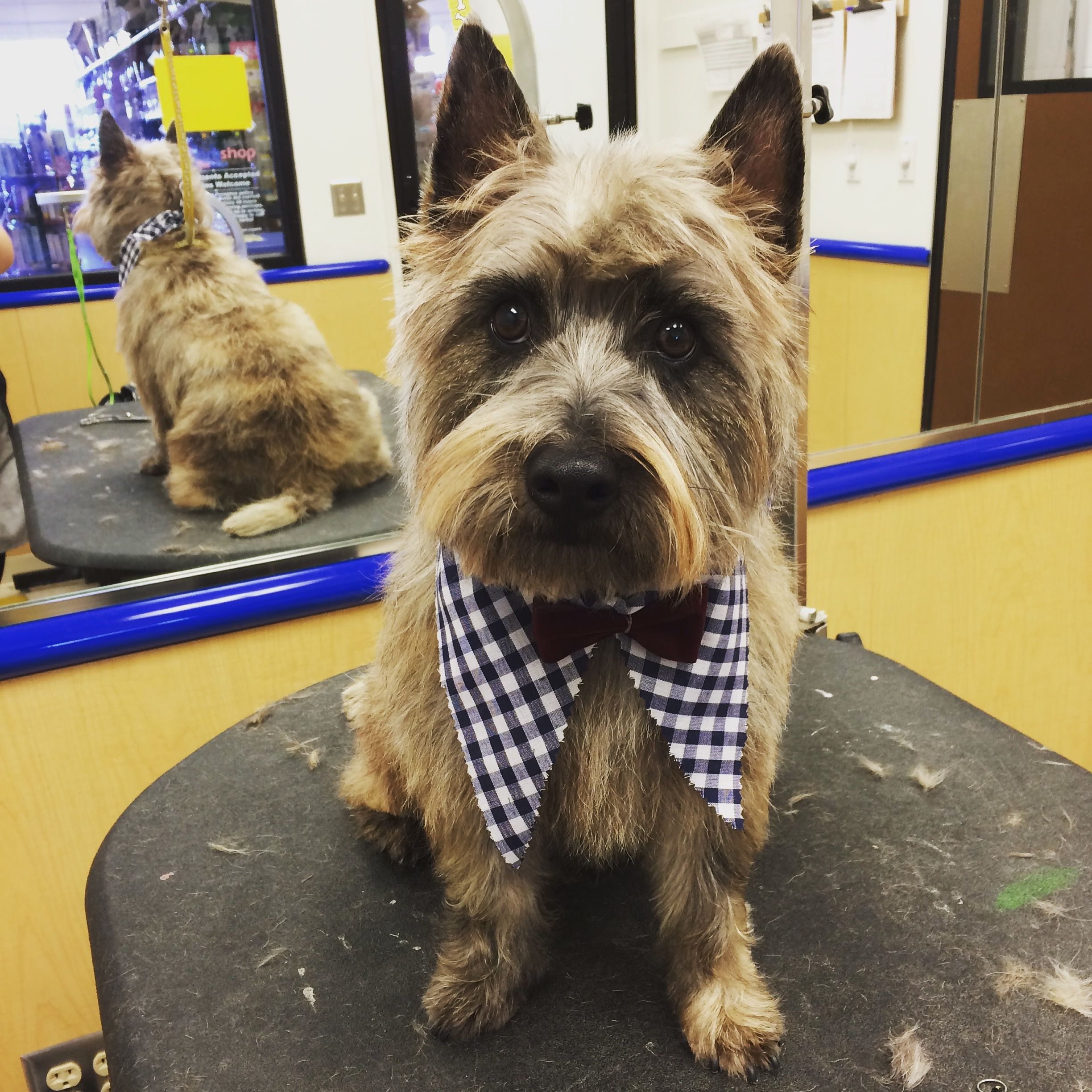 Cairn Terrier Groom Oliver Is One Of My All Time Favorite Clients