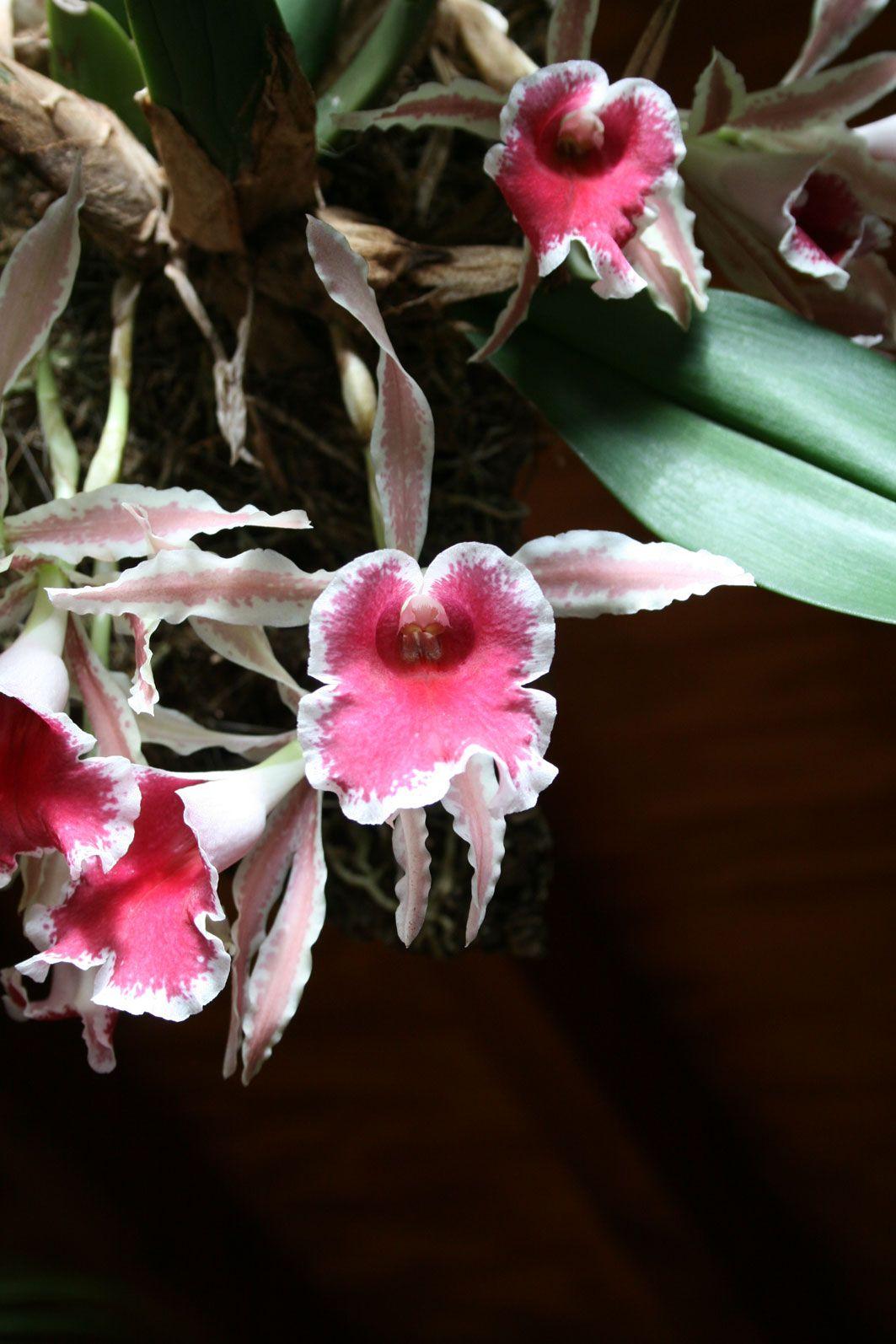 Las orquídeas de iván arroyo my orchids in basque country