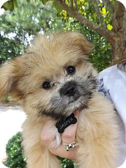 Today S Five O Clock Cuteness Is Jasper A Very Cute Shih Tzu Yorkie Mix Available For Adoption In Ta With Images Pets Kitten Adoption Puppy Obedience Training