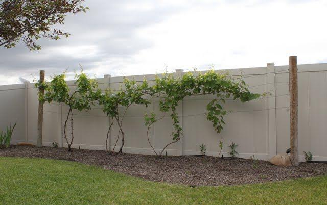 Backyard grape trellis Wire Trellis Backyard Grape Trellis ...
