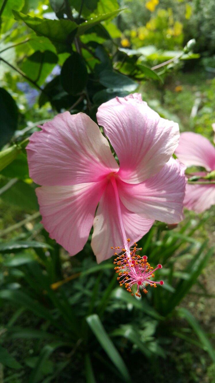 Hibiscus Hibiscus Flower Garden Flowers