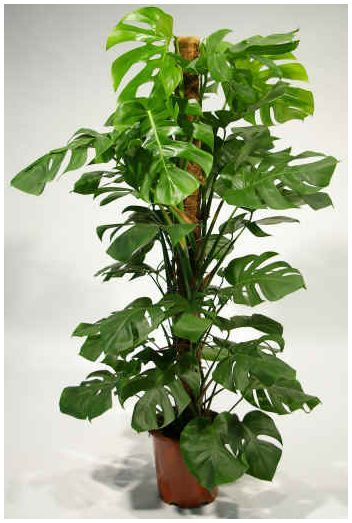 monstera deliciosa how to grow a healthy plant growths pinterest monstera deliciosa and. Black Bedroom Furniture Sets. Home Design Ideas