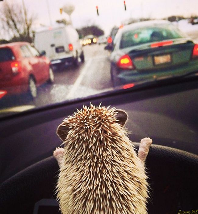 Since hedgehogs are known for being very patient creatures, their humans will frequently let them take over driving during bad traffic. Instead of suffering from road rage like their human counterparts, hedgehogs will simply wait patiently until they are finally able to move.