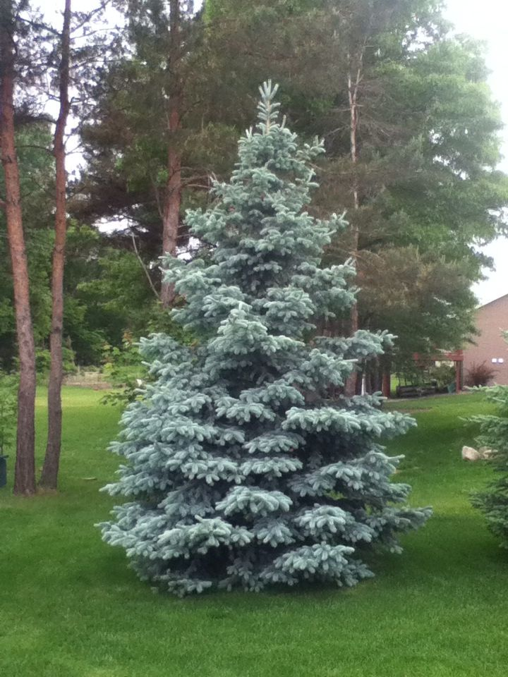 Hoopsi Blue Spruce With Images Dream Garden Backyards
