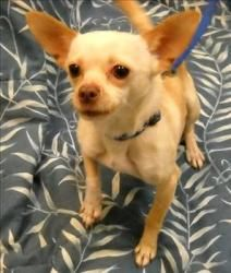 Paco Is An Adoptable Chihuahua Dog In Enfield Nh I M A Cautious