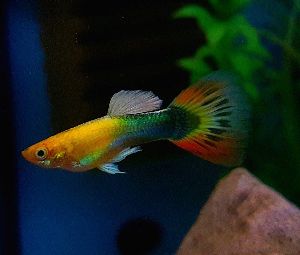Kumara Sunray Guppy Guppy Fish Freshwater Aquarium Fish Aquarium Fish