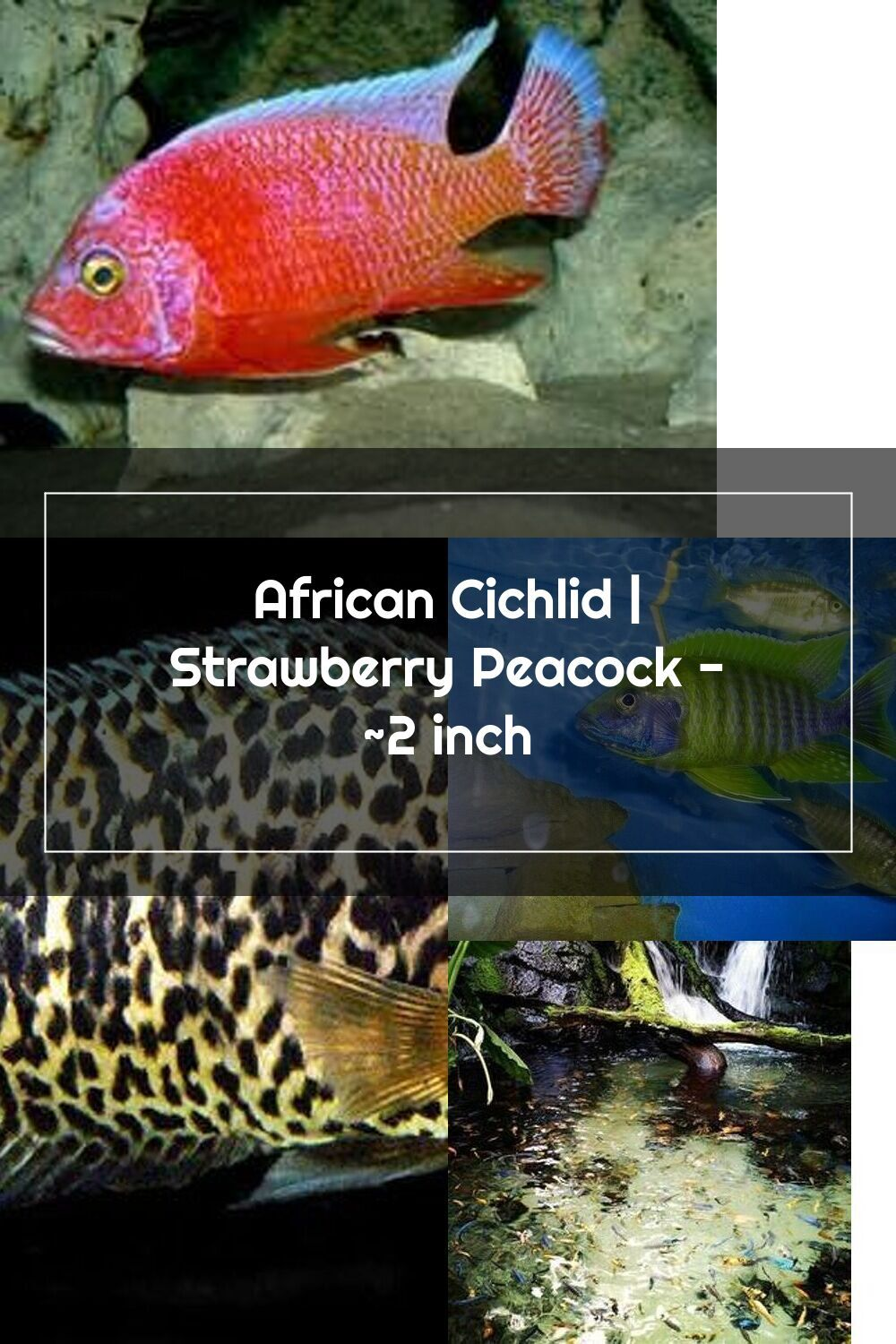 African Cichlid Strawberry Peacock 2 Inch African Cichlids Cichlids African
