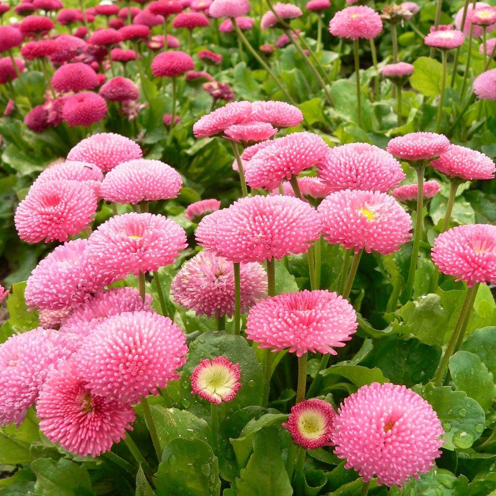 Stokrotka Trwala Kwiaty W Odcieniach Rozu 600 Nasion W Sklep Nasiona Sprawdz Darmowa Wysylke Bellis Perennis Plant Protection Garden Seeds