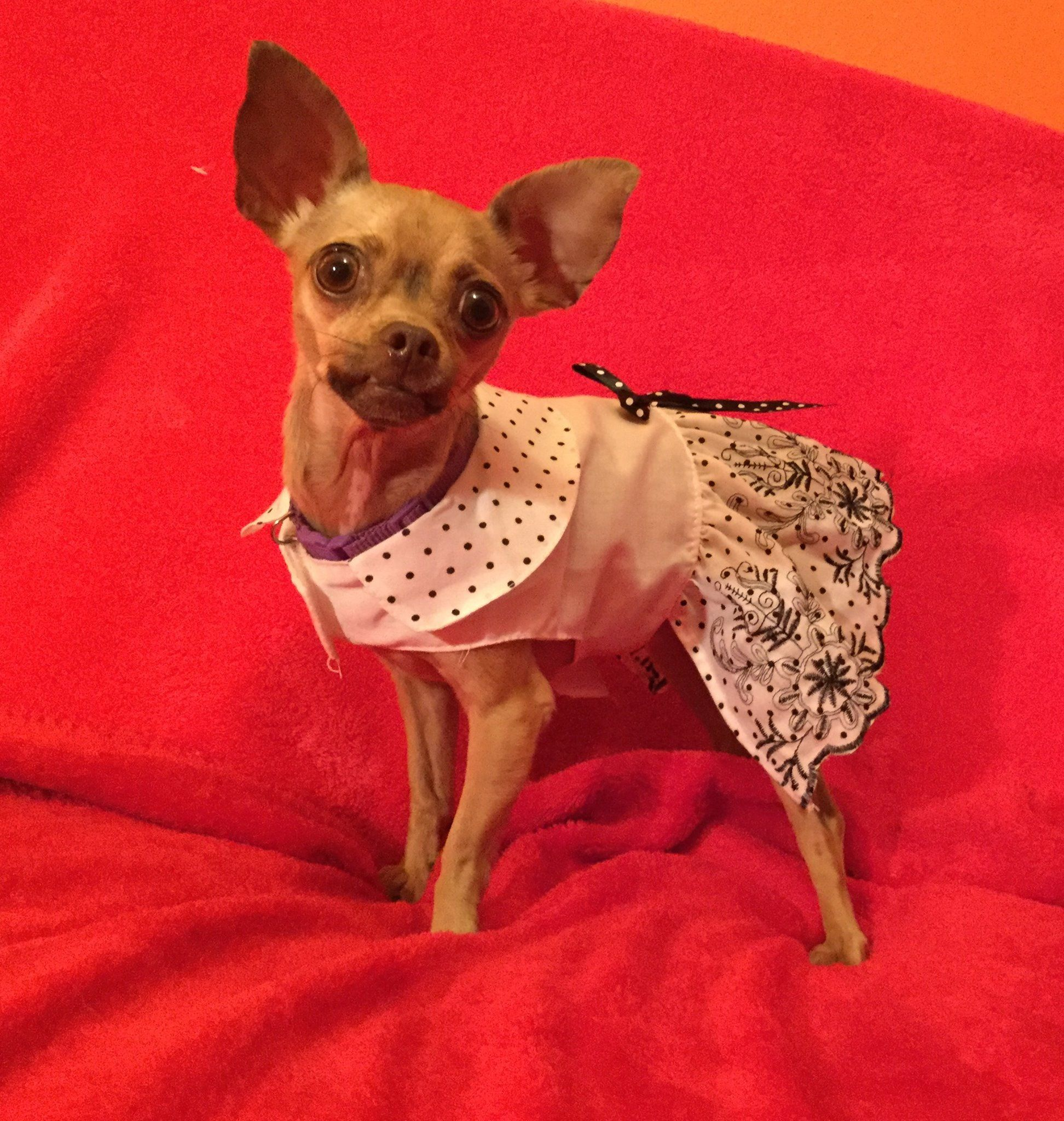 Chihuahua dog for Adoption in Colorado Springs , CO. ADN