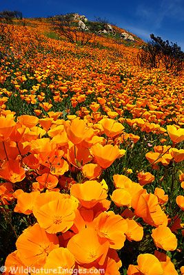 California Poppy-it would be so cool to be there in the mornings when they wake up to the sun.
