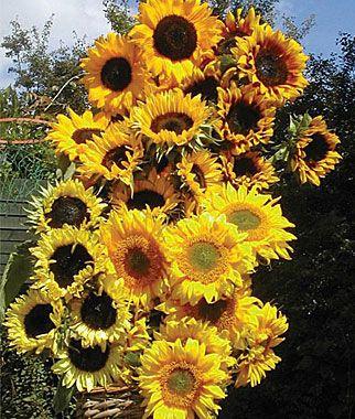 Sunflower Pristine Mix Seeds And Plants Annual Flower Gardens At Burpee Com Growing Sunflowers Plants Sunflower Garden