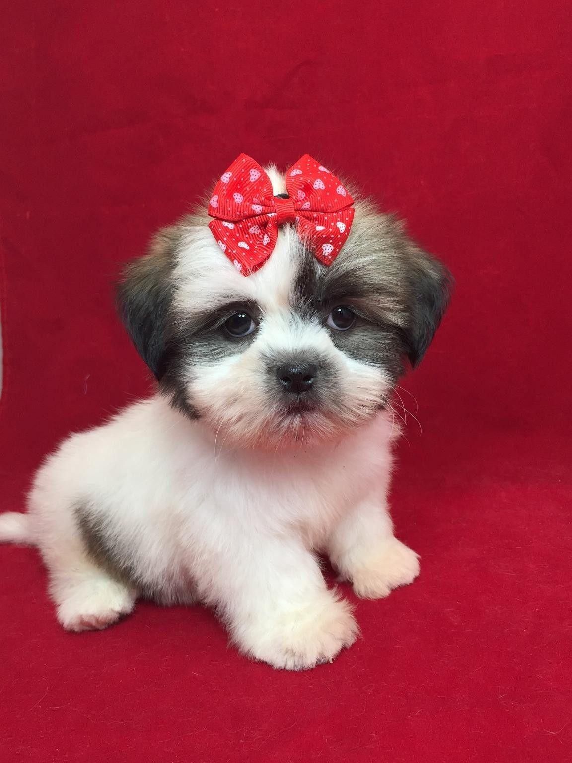 Nyc Shih Tzu Photos Shih Tzu Shih Tzu Puppy Photo