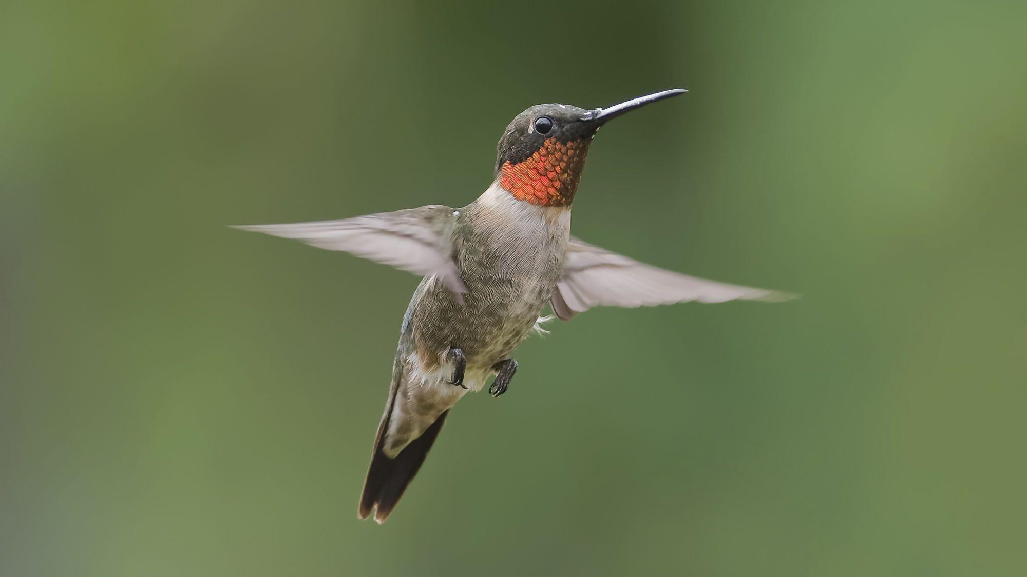 Boys Will Be Boys - Adult male Ruby-throated Hummingbird in flight.