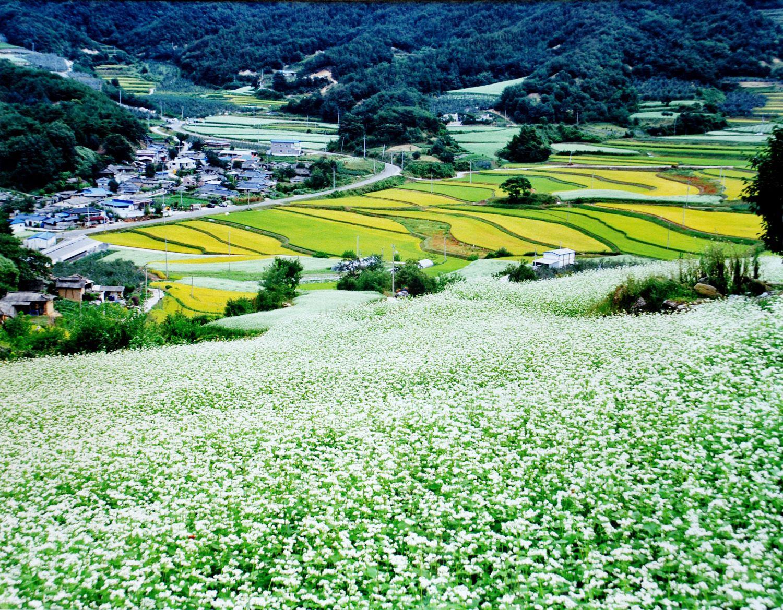 학가산 메밀밭