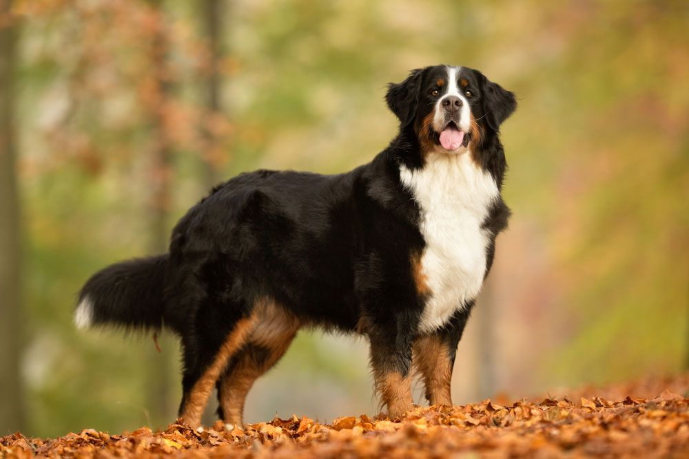 Berner Sennenhund Anhangliche Schweizer Sennenhund Berner Sennenhund Hunderassen