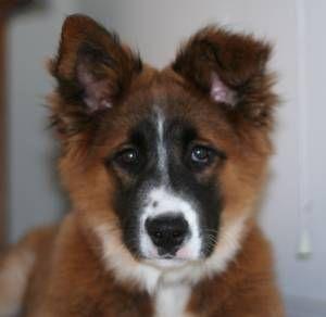 Australian Shepherd/St. Bernard mix. | Maggie | Pinterest ...