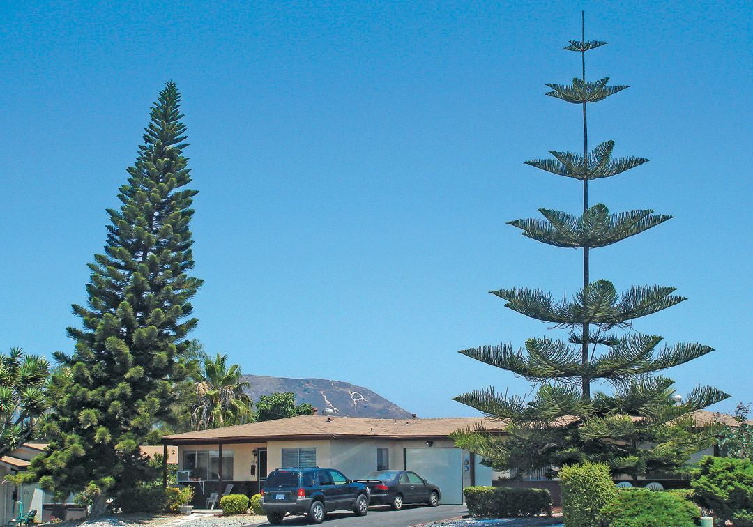 And information network araucaria heterophylla norfolk pine - Cook Pine Araucaria Columnaris On Left Showing A Dense Slender Crown