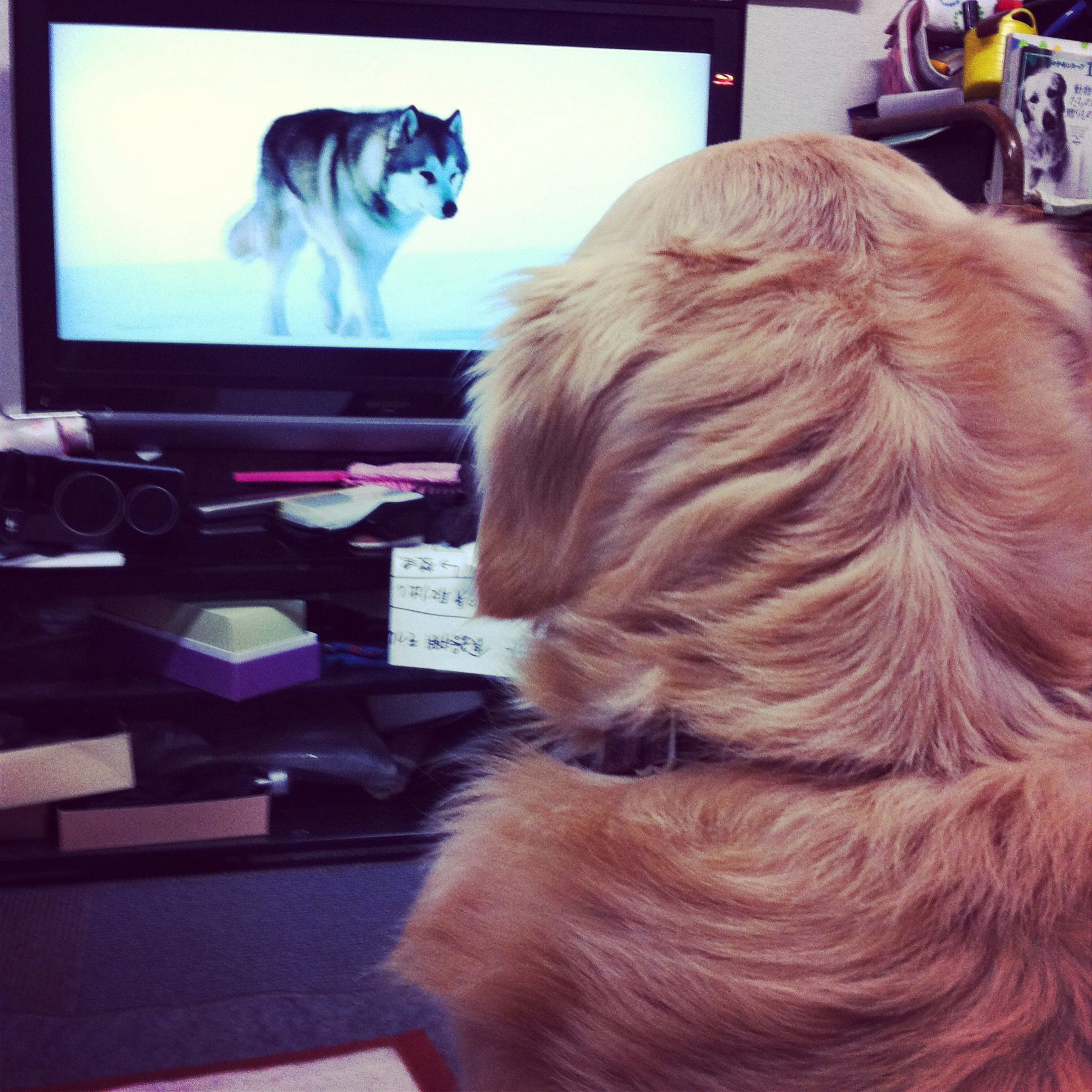 My dog is watching a surviving dog in South Pole on TV.  He learns how to live in the wild, I guess.  Golden retriever, you are funny.