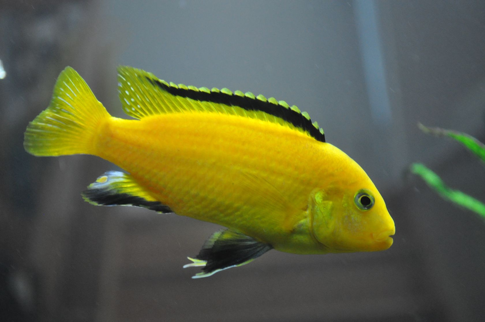 A labidochromis caeruleus or electric yellow cichlid this for African cichlid fish