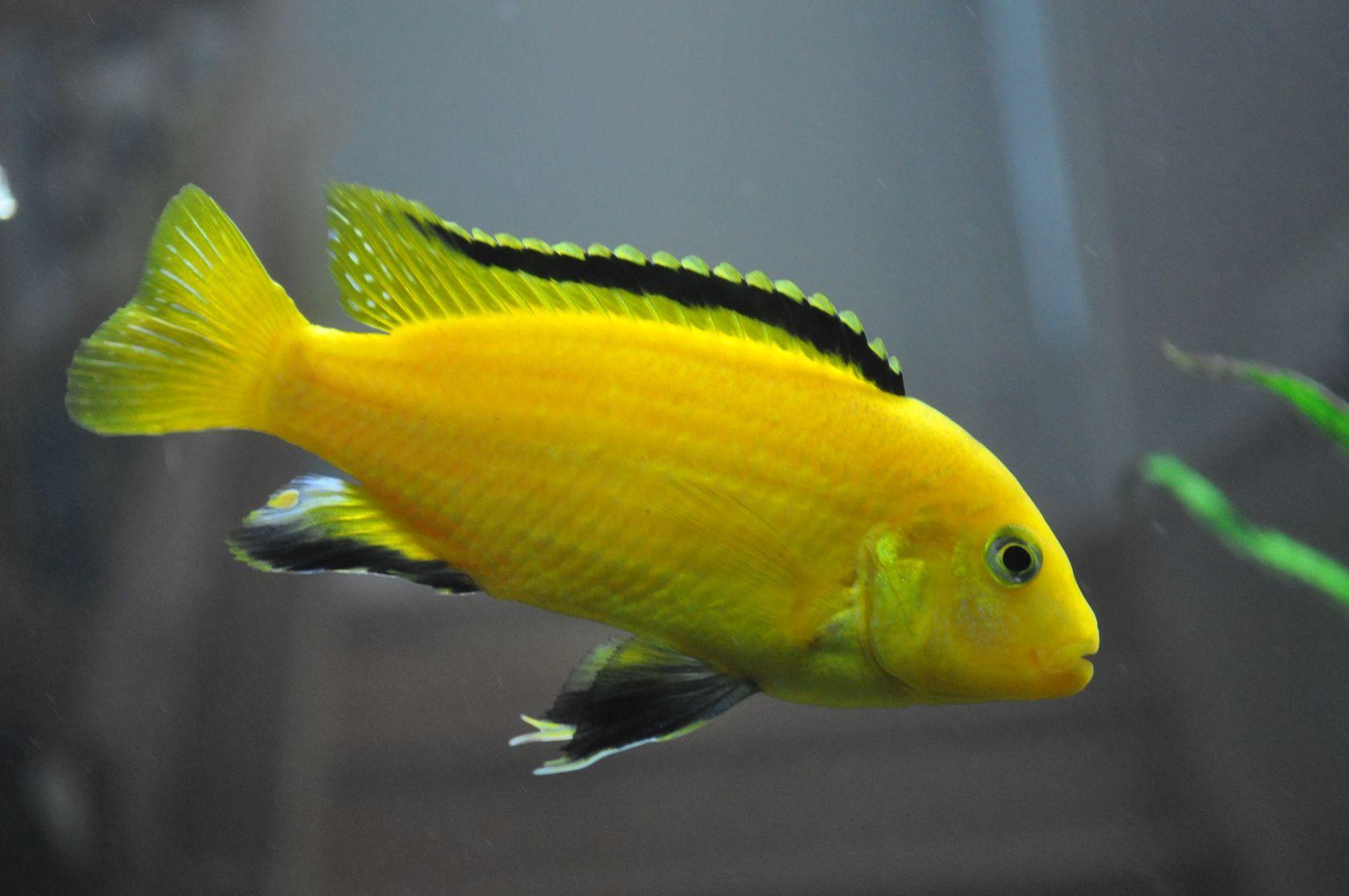 A Labidochromis Caeruleus Or Electric Yellow Cichlid This Is One Of The Most Popular Species Of Mbuna From Lake Malawi Cichlids Aquarium Fish Cichlid Aquarium