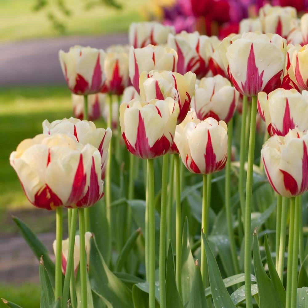 цветы тюльпаны фото названия эта миловидная девушка