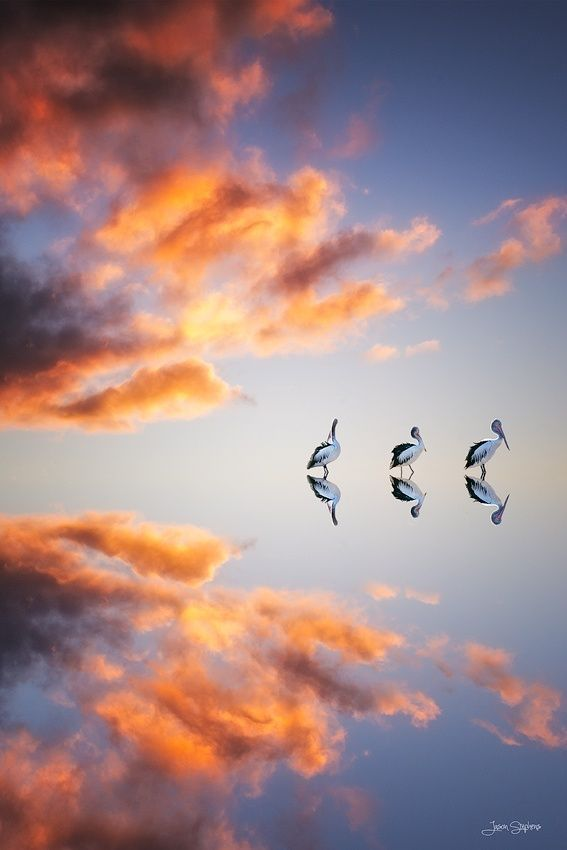 Pelicanos en el Espejo