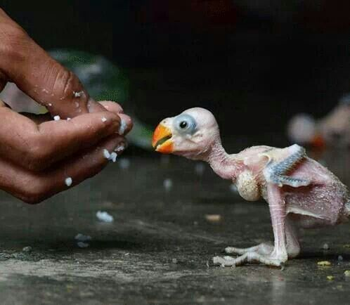 Newly born Parrot being fed in india.