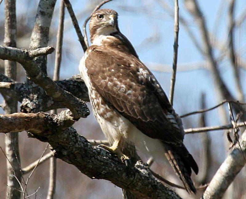 Types Of Hawks In Louisiana 74333270 Cj5uxdg3 Jpg Types Of Hawks Louisiana Bald Eagle