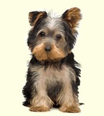 Morkie Puppies For Sale Yorktese Puppies Puppies Morkie Puppies For Sale Interactive Dog Toys