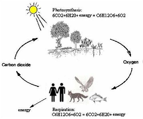 The Photosynthesis cycle we humans and the animals