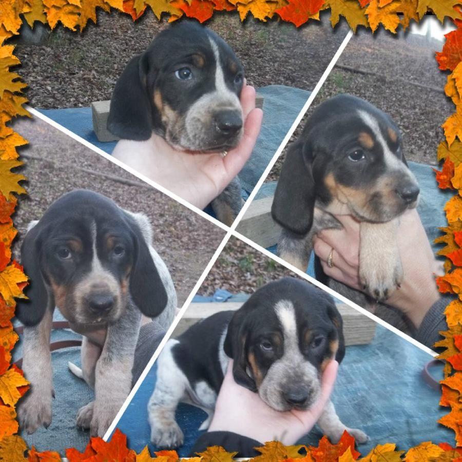 Ukc Bluetick Puppies For Sale In Salyersville Kentucky Hoobly