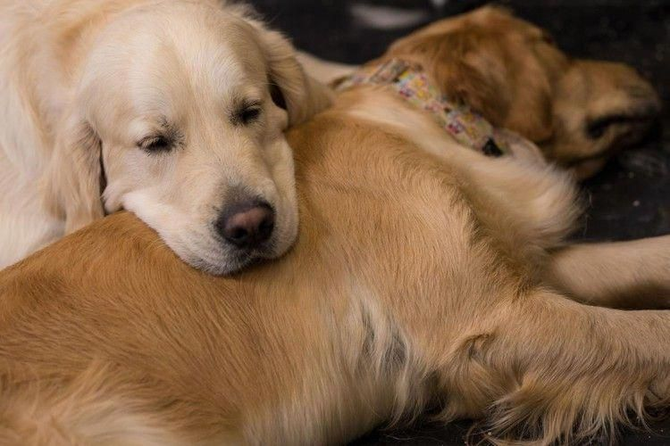 Golden Retriever Dog Delivers Litter Of Puppies At Florida Airport