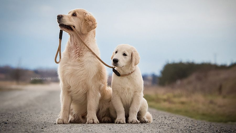 Golden Stars By Dogs In Motion Golden Retriever Photography