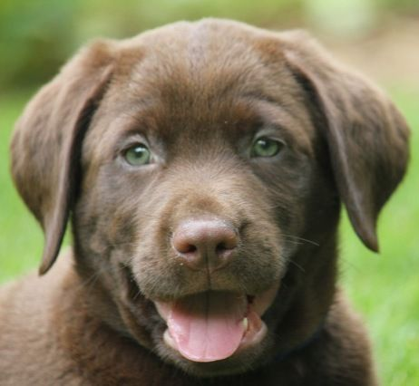 Yellow labrador retriever breeders bc