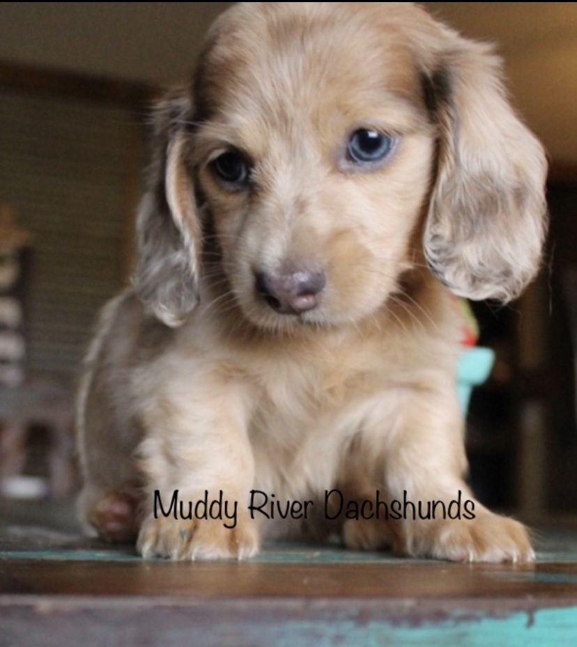 Dapple Dachshund Blue Muddyriverdachshunds Dappledachshund