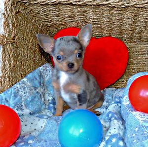 Chihuahua Male Bleu Merle Et Feu Petit Coquin Charmeur Laval