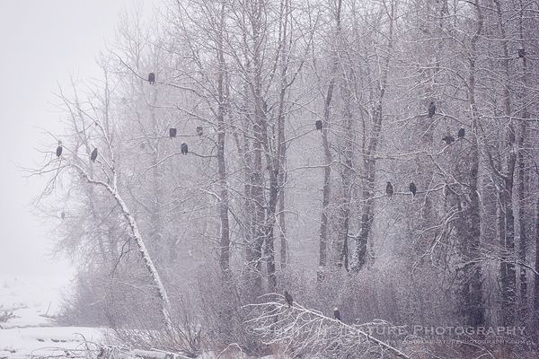 Fun Friday: Genealogy … the Family Tree - Bald Eagles in the winter trees   Show Me Nature Photography