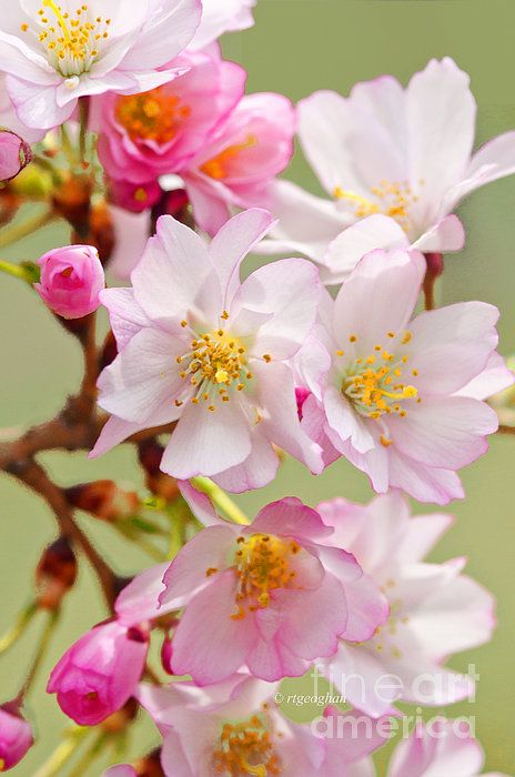 Cherry Blossoms Spring Sakura Pinkspringblossoms Cherryblossomart Cherryblossomwalldecor Flowers Photography Cherry Blossom Art Cherry Blossom Images