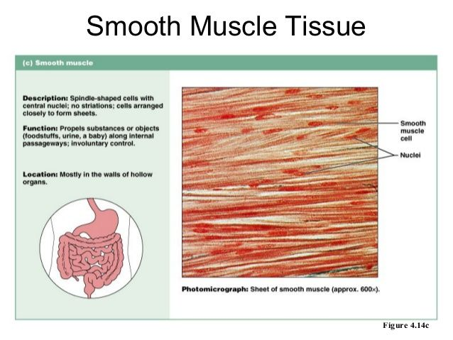 Image result for smooth muscle tissue slide labeled | Anatomy ...