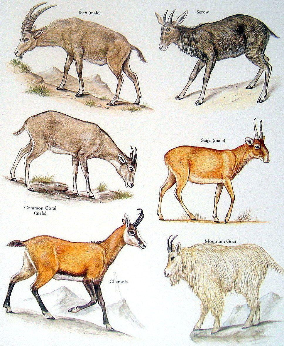 Gazelle Vs Antelope Google Search Tiere Zeichnungen