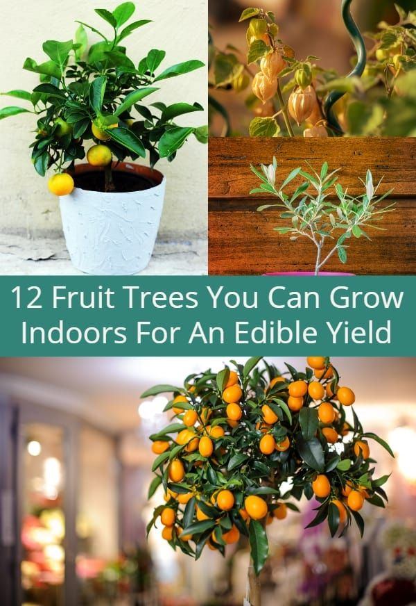 12 Fruit Trees You Can Grow Indoors For An Edible Yield